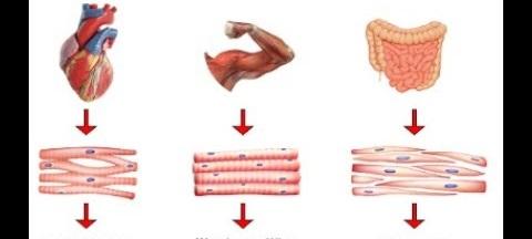 Sebutkan Macam Macam Otot Ciri Dan Fungsinya Artikel Hiham Id