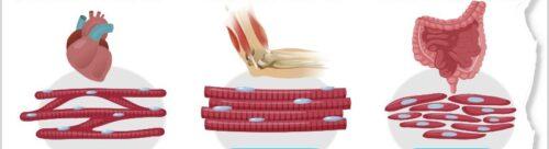 Sebutkan macam-macam otot, ciri dan fungsinya - Artikel ...