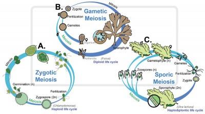 Siklus hidup Alga