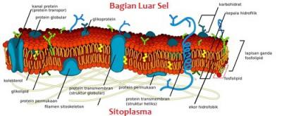 protein membran plasma